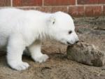 Marketers Cash in on Cute Knut