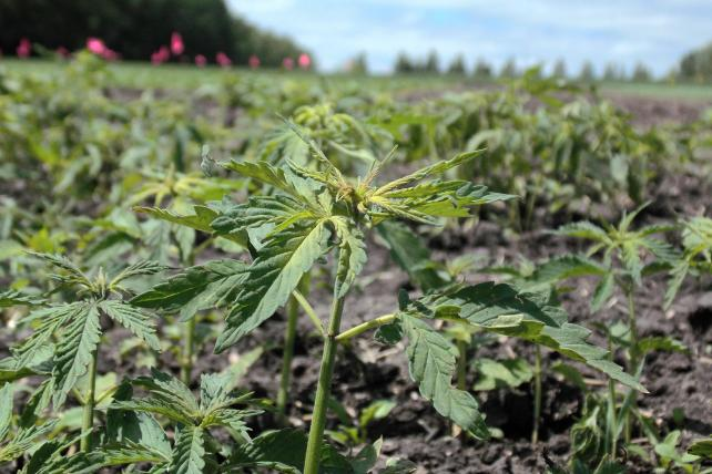 Hemp Might Not Get You High, But Kentucky Farmers Are Giving It a Chance