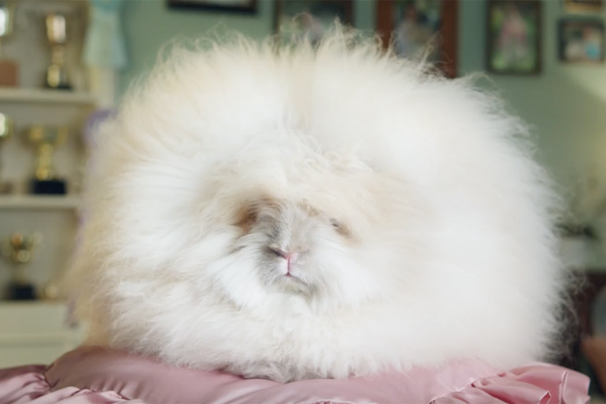 Quilted Northern is Not an Angora Show Bunny