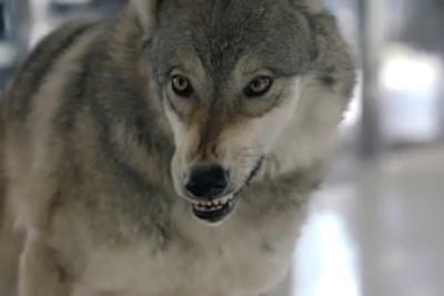 Cars.com - Wolf