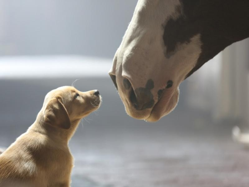 Budweiser 'Puppy Love' Named the Best Super Bowl Ad Meter