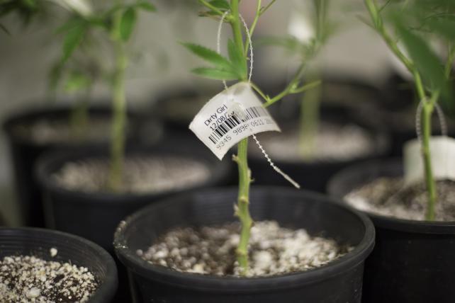 c3af70adeadb Weed-Smoking Gorilla Ushers in New Era in Pot Packaging | AdAge